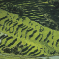 rice paddy2